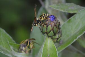 Wespen und Hornissen sind wichtig für das Ökosystem